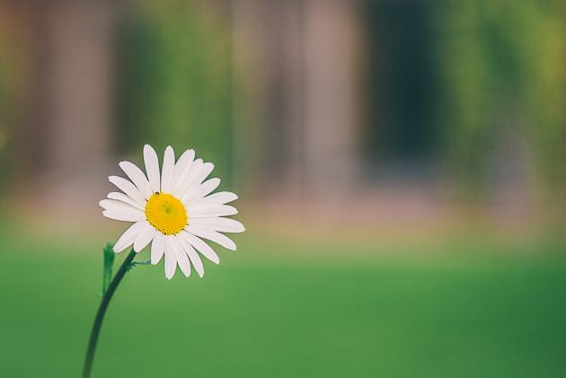 Daisy in garden